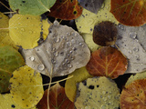 Leaves Dew Drops Photographic Print by Art Wolfe