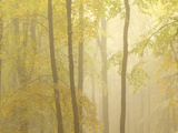 Forest Fog 3 Photographic Print by Doug Chinnery
