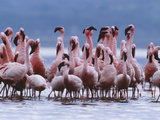 Flamingo Row Photographic Print by Art Wolfe