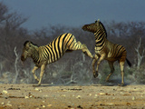 Rabble Rousing Photographic Print by Art Wolfe