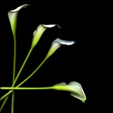 White Calla Lily 2 Photographic Print by Magda Indigo