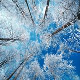 Frosne trær Fotografisk trykk av Philippe Sainte-Laudy