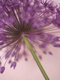 Purple Haze 5 Reproduction photographique par Doug Chinnery