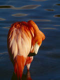 Preening I Photographic Print by Art Wolfe