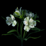 White Alstroemeria Photographic Print by Magda Indigo