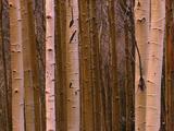 Aspen's in Winter Fotografie-Druck von Art Wolfe