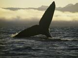 Whales Tale Fotografie-Druck von Art Wolfe