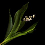 Muguet Photographic Print by Magda Indigo