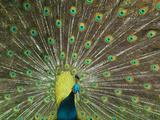 The Peacock Photographie par Art Wolfe