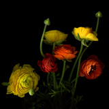 Yellow and Red Ranunculus Photographic Print by Magda Indigo