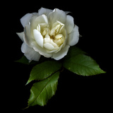 White Rose Photographic Print by Magda Indigo