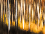 Birches Photographic Print by Ursula Abresch