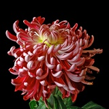 Pink Chrysanthemum 3 Photographic Print by Magda Indigo
