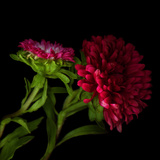 Red Aster I Photographic Print by Magda Indigo