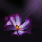 Cosmos Parade Photographic Print by Philippe Sainte-Laudy