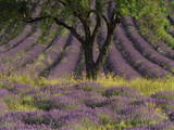 Lavender Divine Photographic Print by Art Wolfe