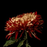 Chrysanthemum 2 Photographic Print by Magda Indigo