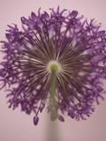 Purple Haze 3 Reproduction photographique par Doug Chinnery