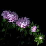 Aster Photographic Print by Magda Indigo