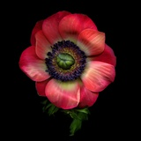 Anemone 3 Photographic Print by Magda Indigo