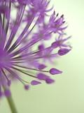 Purple Haze 6 Reprodukcja zdjęcia autor Doug Chinnery