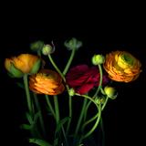 Ranunculus Photographic Print by Magda Indigo