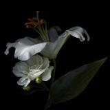 White Rose and White Lily Photographie par Magda Indigo