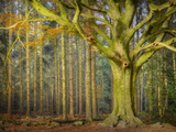 Ponthus Beech Tree Photographic Print by Philippe Manguin