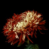 Chrysanthemum 3 Photographic Print by Magda Indigo