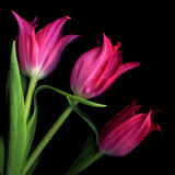 Star Tulips Photographic Print by Magda Indigo