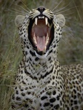 Yawning Loudly Photographic Print by Art Wolfe