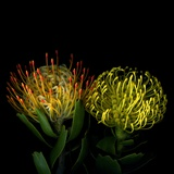 Protea 7 Photographic Print by Magda Indigo