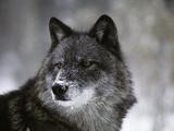 Watchful 1 Fotografie-Druck von Art Wolfe