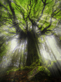 Philippe Manguin - Ponthus Beech Tree 2 Fotografická reprodukce