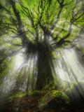 Ponthus Beech Tree 2 Fotodruck von Philippe Manguin