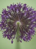 Purple Haze 4 Reprodukcja zdjęcia autor Doug Chinnery