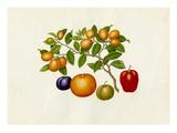 Fortunella margarita, Annona reticulata, Prunus domestica, Citrus sinensis Giclee Print by  Wang Lui Chi