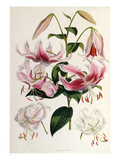 Lilium speciosum Giclee Print by Walter Hood Fitch