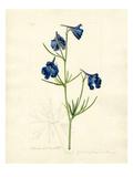 Delphinium grandiflorum var. chinensis Giclée-Druck von John Curtis