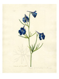 Delphinium grandiflorum var. chinensis Giclee Print by John Curtis