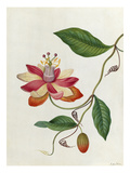 Moniers Passion Flower Giclee Print by James Bolton