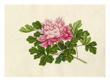 Paeonia Premium Giclee Print by  Wang Lui Chi