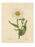 Chrysanthemum Giclee Print by James Sowerby