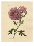 Chrysanthemum indicum Giclee Print by John Curtis
