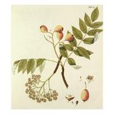 Die Spierlingbaum Giclee Print by Johann Simon Kerner