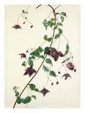 Clematis purpurea Premium Giclee Print by Margaret Meen