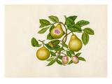 Malus prunifolia, Psidium guajava Giclee Print by  Wang Lui Chi