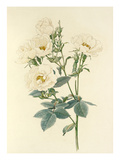 Rosa alba Giclee Print by Alfred William Parsons