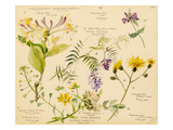 i. Lonicera periclymenum, ii. Vicia cracca, iii. Crepis pulcra, iv. Bursa pastoris, v. Achillea mil Giclee Print by Lilian Snelling