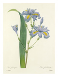 Iris frangée: Iris fimbriata Giclee Print by  Langlois